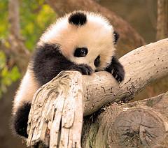 Panda hanging