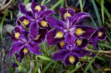 Irises2-Dan Oestreich