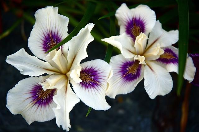 Iris 3 Dan Oestreich